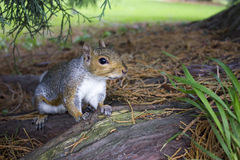Eichhörnchen im Park Stockfotografie
