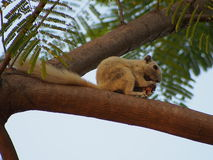 Eichhörnchen im Park, Bangkok, Thailand Lizenzfreies Stockbild