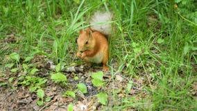 Eichhörnchen im Park, der Nüsse kaut Stockfotos