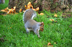 Eichhörnchen im Park essen die gebratenen Erdnüsse Lizenzfreie Stockfotos