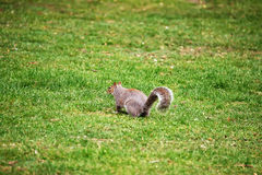 Eichhörnchen im Park von Cardiff von Wales Lizenzfreie Stockfotos