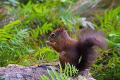 Eichhörnchen im Schönbrunn-Zoo, Wien Stockfotografie