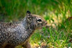 Eichhörnchen im schönen Wiesen-Bereich lizenzfreie stockfotografie