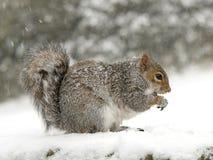 Eichhörnchen im Schnee Stockfotografie