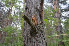 Eichhörnchen im sibirischen Wald Lizenzfreie Stockfotografie
