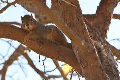 Eichhörnchen in im Stadtzentrum gelegenem San Jose Lizenzfreies Stockbild