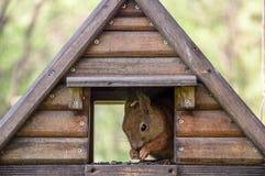 Eichhörnchen im Vogelhaus stockfoto