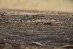 Eichhörnchen im Wald Stockbild