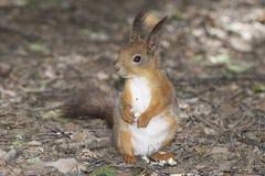 Eichhörnchen im Wald lizenzfreie stockfotos