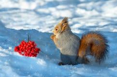 Eichhörnchen im Wald Stockfoto