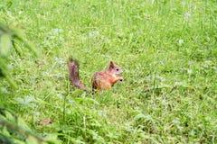 Eichhörnchen im Wald Lizenzfreies Stockfoto