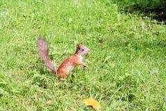 Eichhörnchen im Wald Lizenzfreie Stockbilder