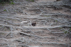 Eichhörnchen im Wald auf den Wurzeln Lizenzfreie Stockbilder