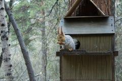 Eichhörnchen im wilden Lizenzfreies Stockfoto
