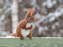 Eichhörnchen im Winter Lizenzfreie Stockfotos