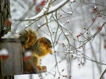Eichhörnchen im Winter Stockfotos