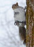 Eichhörnchen im Winter Stockbild