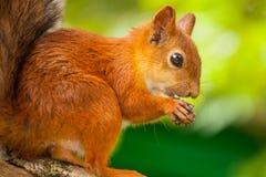 Eichhörnchen isst Stockfotografie
