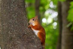 Eichhörnchen isst eine Nuss Stockbild