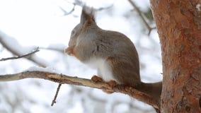 Eichhörnchen isst eine Nuss auf einer Kiefern-Niederlassung stock video