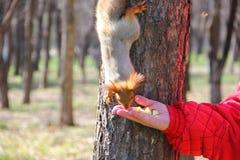 Eichhörnchen isst herzlich die Apple-Stücke lizenzfreies stockbild