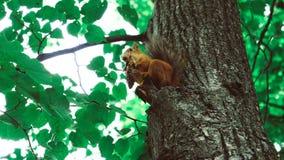 Eichhörnchen isst Nüsse 50 fps stock video