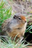 Eichhörnchen in Kanada Lizenzfreies Stockbild