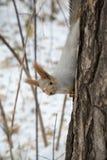 Eichhörnchen kommt hinunter den Stamm Lizenzfreie Stockbilder