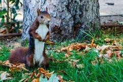 Eichhörnchen in Madrid lizenzfreies stockfoto