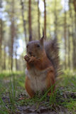 Eichhörnchen mit dem Nippel, Tatzen und Bärten, die auf Gras nahe Büschel im Park sitzen Wildes Pelznagetiermakro Lizenzfreie Stockbilder
