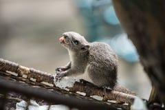 Eichhörnchen mit den langen und scharfen Reißzähnen im Mund lizenzfreie stockbilder