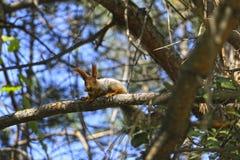 Eichhörnchen mit Eichel Lizenzfreie Stockbilder