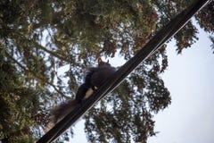 Eichhörnchen mit einem Baby lizenzfreie stockfotos
