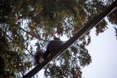 Eichhörnchen mit einem Baby stockbild