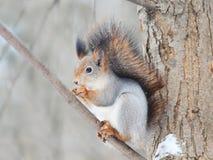 Eichhörnchen mit einem buschigen Schwanz sitzt auf Baum und isst Nüsse im Schnee Lizenzfreies Stockbild