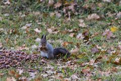 Eichhörnchen mit einer Eichel stockfotos