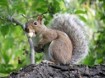 Eichhörnchen mit einer Erdnuss Lizenzfreies Stockbild