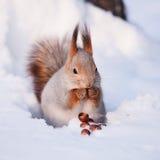 Eichhörnchen mit einer Haselnuss Lizenzfreies Stockfoto