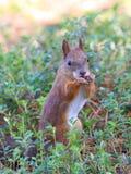 Eichhörnchen mit einer Nuss in den Tatzen Lizenzfreie Stockfotos