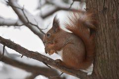 Eichhörnchen mit einer Nuss im Wald Stockfotografie