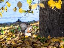 Eichhörnchen mit einer Nuss in seinen Zähnen  Lizenzfreies Stockfoto