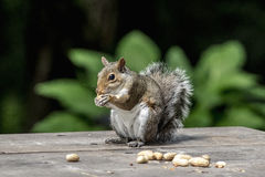 Eichhörnchen mit Erdnüssen Lizenzfreie Stockbilder