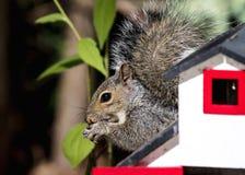 Eichhörnchen mit Erdnüssen Lizenzfreies Stockfoto