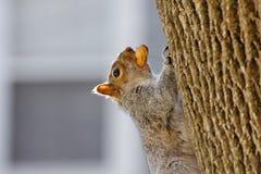 Eichhörnchen mit Erdnuss lizenzfreie stockbilder