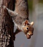 Eichhörnchen mit glücklichem Fang Stockbild