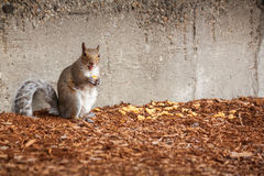 Eichhörnchen mit glücklichem Fang stockfotografie