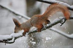 Eichhörnchen mit im Wald Stockbild