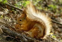 Eichhörnchen mit Mutter stockbilder