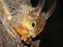 Eichhörnchen mit Mutter in den Greifern Stockfotografie