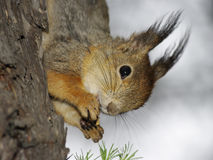 Eichhörnchen mit Mutter in den Greifern Lizenzfreies Stockfoto